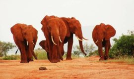 tsavo east safaris